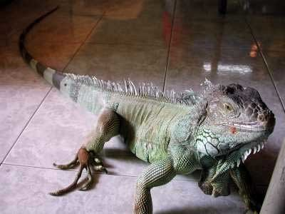 Iguana4